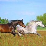 familia de caballos arabes