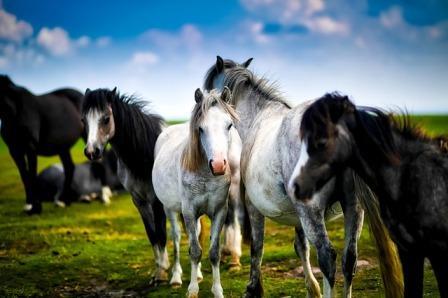 muchos caballos