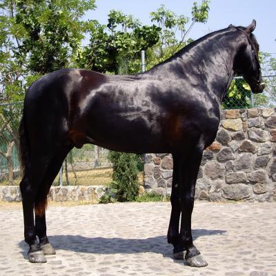 Anatomía de los caballos » CABALLOPEDIA